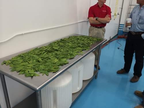 Was Lebensmittelverarbeitung mit Cannabis zu tun hat